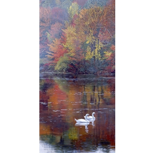 Autumn Reflections - Mute Swans by artist Terry Isaac