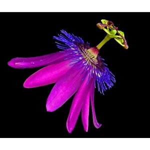 Amethyst Passionflower by photographer Richard Reynolds
