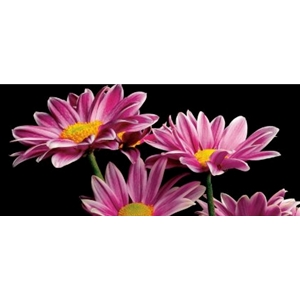 African Daisy - pink flower by floral photographer Richard Reynolds