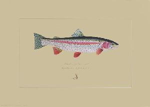 Alaskan Rainbow Trout by fishing artist James Prosek
