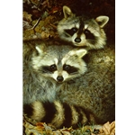Yin and Yang - Raccoons by wildlife portrait artist Carl Brenders