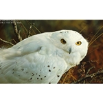 Amber Gaze - Snowy Owl by wildlife portrait artist Carl Brenders