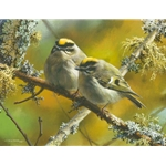 Crowning Glory - Golden-crowned Kinglets by wildlife artist Carl Brenders