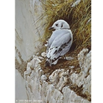 Young Kittiwake by Robert Bateman