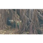 Banyan Walk - Peacock by Robert Bateman