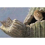 Young Elf Owl - Old Saguaro by Robert Bateman