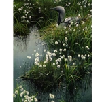 Arctic Loon and Cotton Grass by Robert Bateman