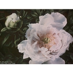 Lady of the Evening - Tree Peony by floral watercolor artist Arleta Pech