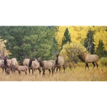 The Melodramatics of September - Elk Herd by wildlife artist Kyle Sims