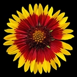 Blanketflower by floral photographer Richard Reynolds