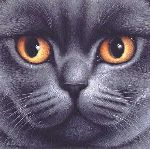 British Blue Shorthair by Braldt Bralds