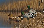 Afternoon Mallards by Richard Clifton