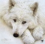 Quiet Time Companions - Samoyed by Scott Kennedy
