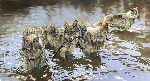 Catch of the Day - Wolves by wildlife artist Bonnie Marris