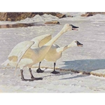 Courting Pair - Whistling Swans by Robert Bateman