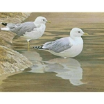 Entering the Water - Common Gulls by Robert Bateman