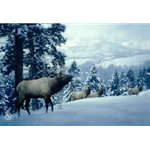 Early Snow - Elk by Daniel Smith