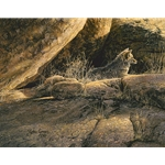 Coyote Afternoon - resting in the rocks by wildlife artist Steve Lyman