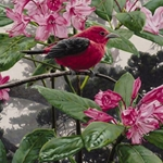 Scarlet Tanager - Perched on Rhododendron by wildlife artist Rod Frederick