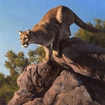 Spring Loaded - mountain lion by wildlife artist Kyle Sims