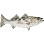 Mature Striped Bass - study portrait by artist Flick Ford