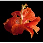 Tropical Hibiscus - Double Orange by floral photographer Richard Reynolds