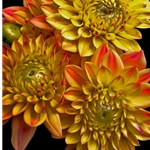 Dahlias - yellow by floral photographer Richard Reynolds