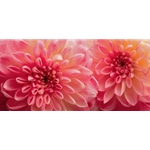 Dahlia 6 - pink blooming by floral photographer Richard Reynolds