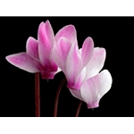 Hardy Cyclamen - pink flower by floral photographer Richard Reynolds