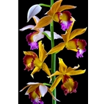 Nun's Orchid by floral photographer Richard Reynolds