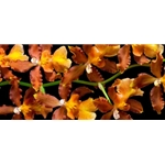 Orchid - Kilauea Karma by floral photographer Richard Reynolds