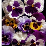Pansies by floral photographer Richard Reynolds