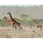 Rothschild's Reprise - Giraffe herd by artist Guy Combes