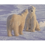 Season's Greetings - polar bears by Daniel Smith