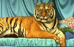 Sheeba - portrait of tiger by Tom Palmore