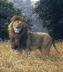 Simba - Lion by wildlife artist Simon Combes
