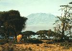 Kilimanjaro Morning - Elephant by wildlife artist Simon Combes