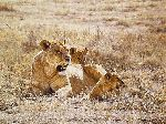 Midday Sun - Lioness and cubs by african wildlife artist Simon Combes