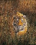 Fearful Symmetry - Tiger by wildlife artist Simon Combes