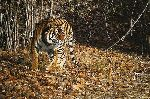 Indian Summer - Bengal Tiger by wildlife artist Simon Combes