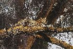 Golden Silhouette - Leopard resting in tree by wildlife artist Simon Combes