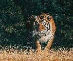 From the Shadows - Tiger by wildlife artist Simon Combes