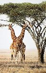Sentinels - Giraffes by wildlife artist Simon Combes